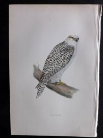 Morris 1897 Antique Hand Col Bird Print. Jer-Falcon